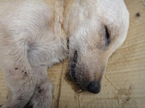 Chó lăn ra chết tại chỗ vì trà pha chế có độc dược. Ảnh: Nhất Biến.